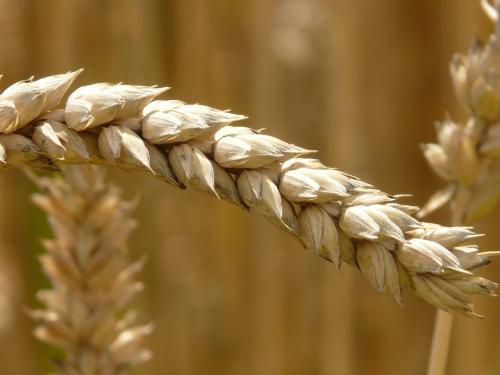 GLUTEN - ist das Klebeeiweiß der neue Feind in unserer Nahrung?